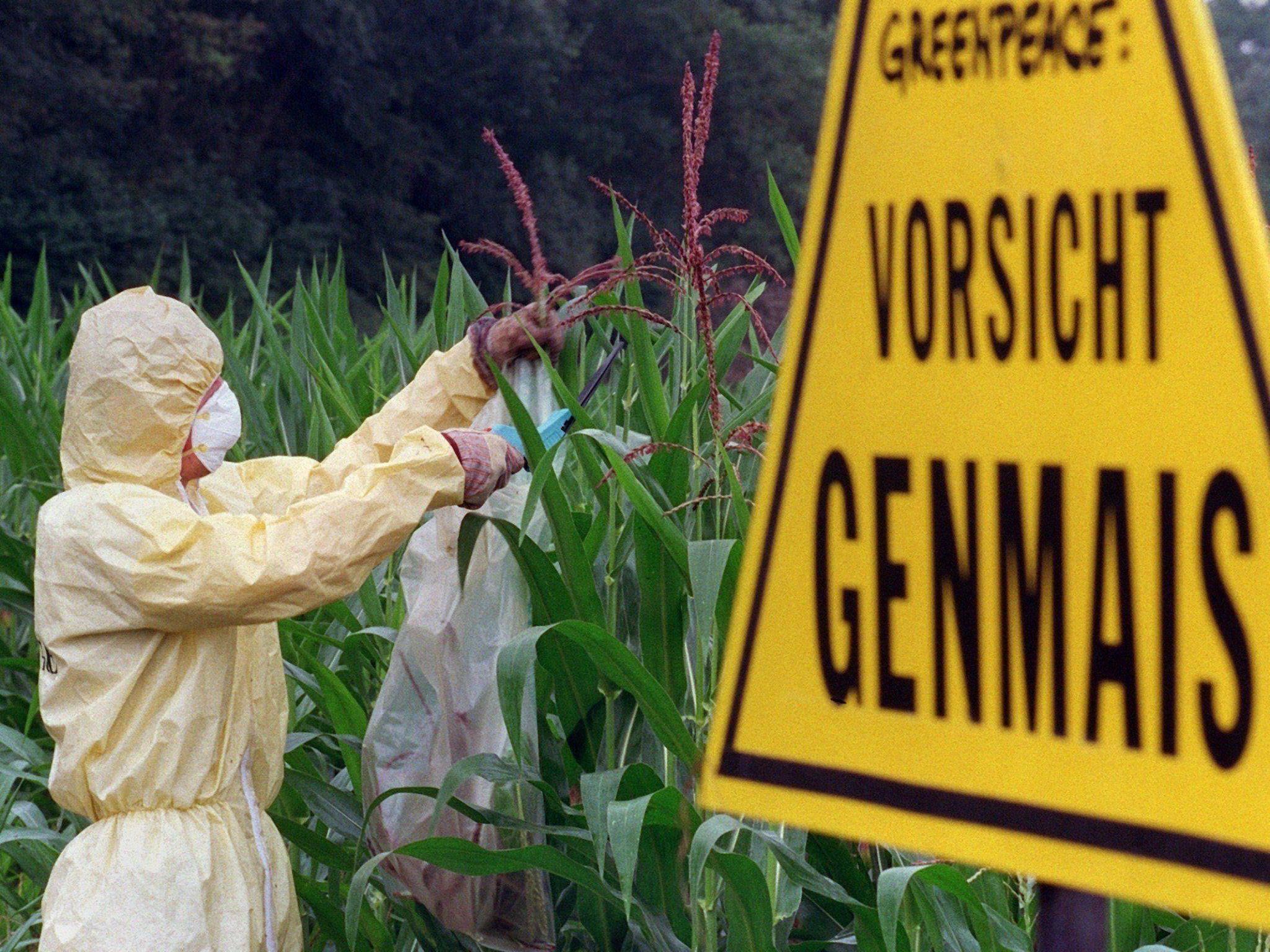 ÖSterreich könnte den Anbau von gentechnisch manipulierten Pflanzen verbieten.