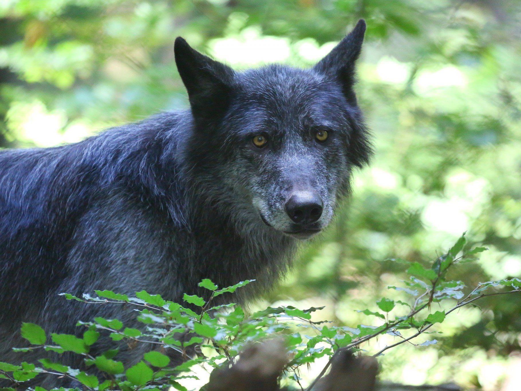 Ein Wolf ist seit gut einer Woche Gesprächsthema in Lech. Es kam zu einer Begegnung des Raubtiers mit einem jungen Jäger.