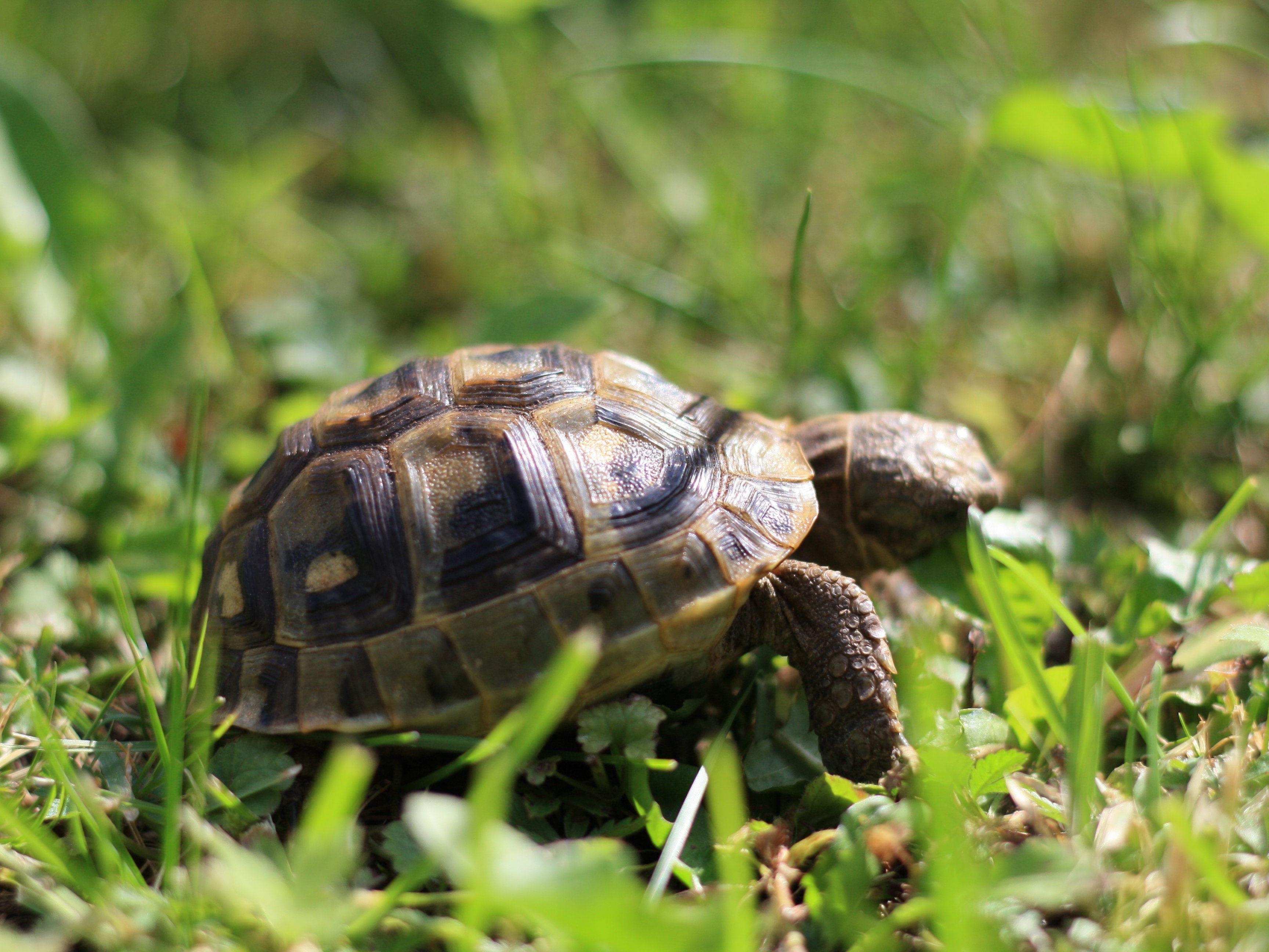 Unsere maurische Landschildkröte Schildi