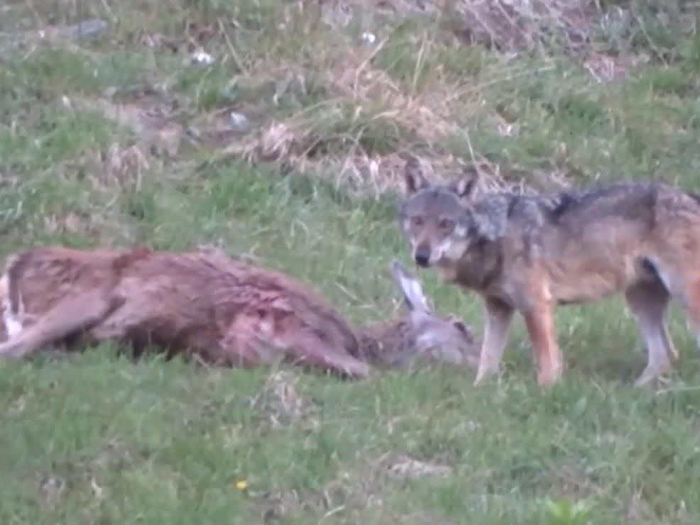 Das Video von der Wolf-Sichtung in Lech.