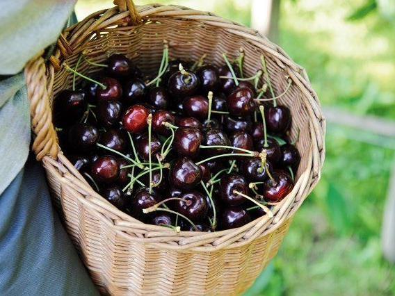 Kaum im Korb werden die süßen Früchte auf schnellstem Wege in die Sutterlüty Ländlemärkte geliefert.