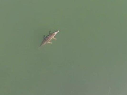 Das Krokodil wurde von einer Drohne gefilmt.
