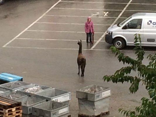 Entlaufenes Lama in Kennelbach.