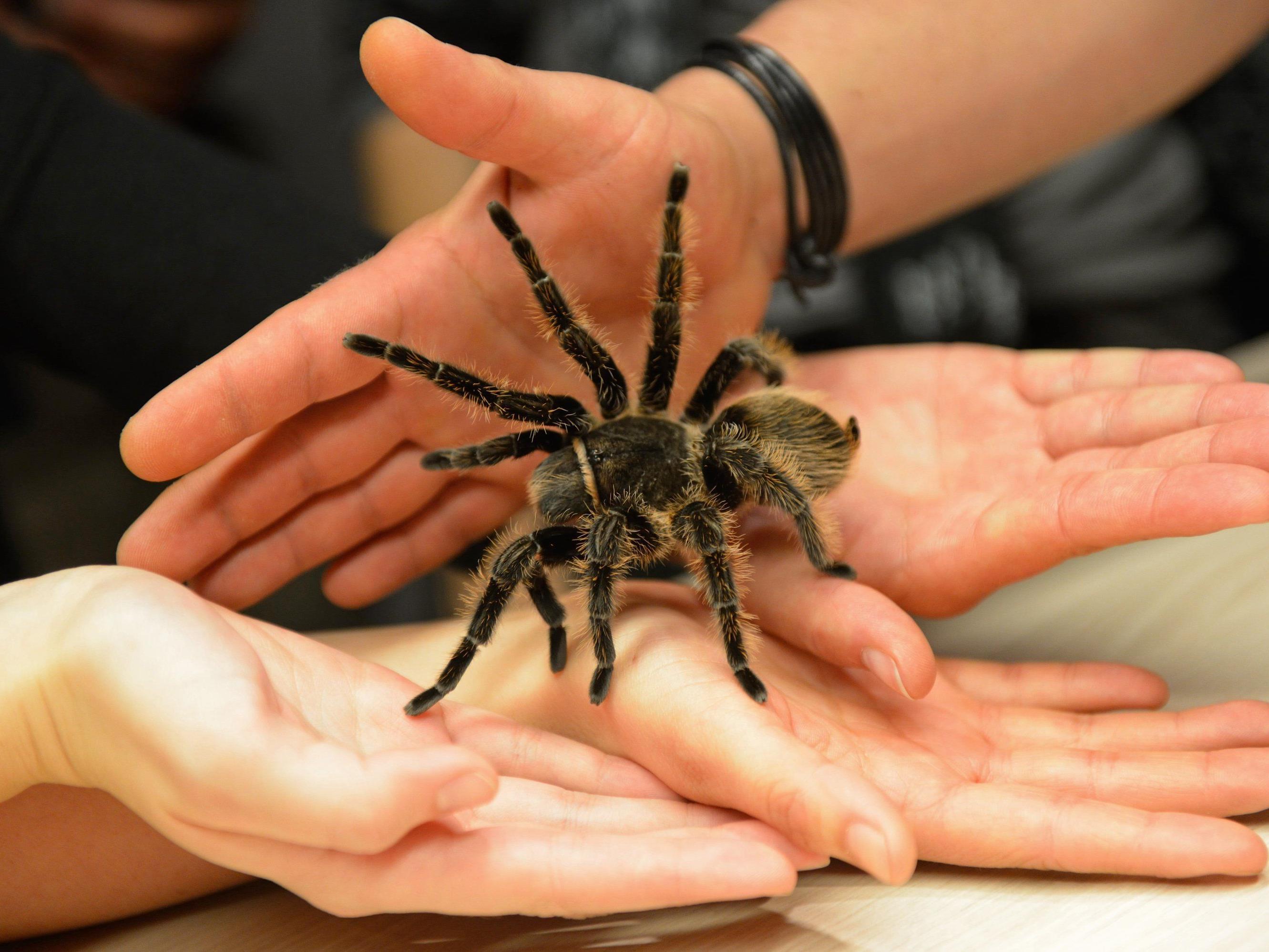 Nach der Therapie seien viele so weit gewesen, dass sie das Terrarium öffnen und die Spinne sogar auf die Hand nehmen konnten