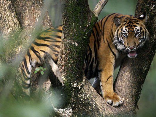 Die Tigerpopulation soll bis 2022 verdoppelt werden.