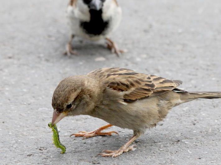 Mahlzeit! Singvögel, wie Spatzen, haben den Schädling als Delikatesse entdeckt.