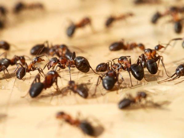 isolierte hausfassaden als ameisen paradies tiere vorarlberg vol at. Black Bedroom Furniture Sets. Home Design Ideas