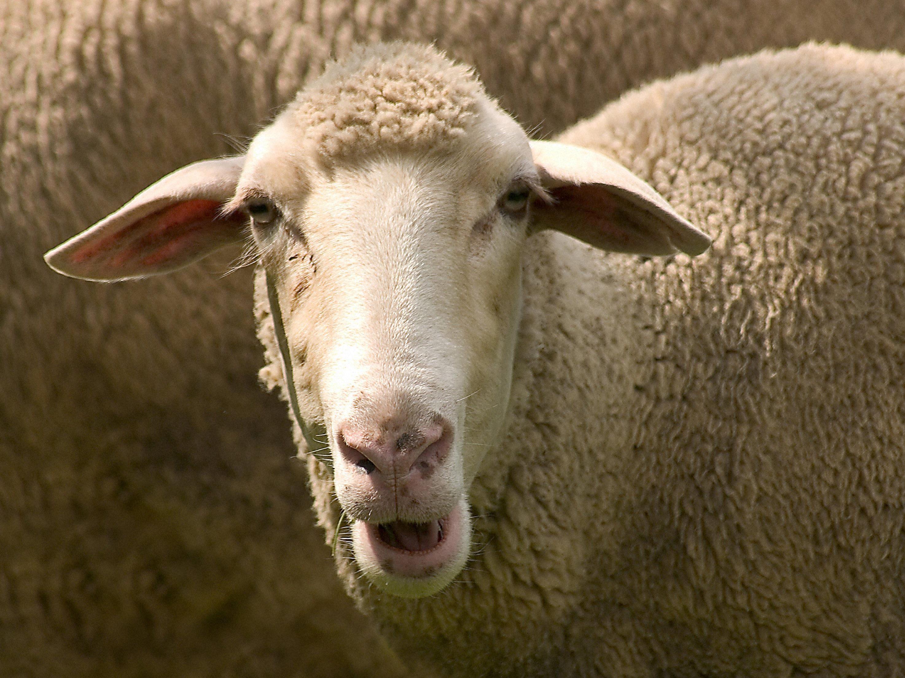 """Rund 800 Schafe starben nachdem sie die Pflanze """"Darling Pea"""" verputzt haben."""