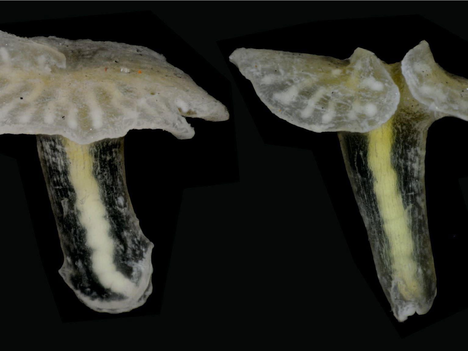 Mehrere Exemplare der vorläufig sogenannten Dendrogramma aus einem möglicherweise neu entdeckten Stamm des Tierreichs.