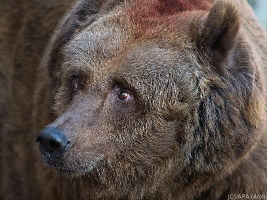 Mann stellte sich leblos, Bär zog weiter