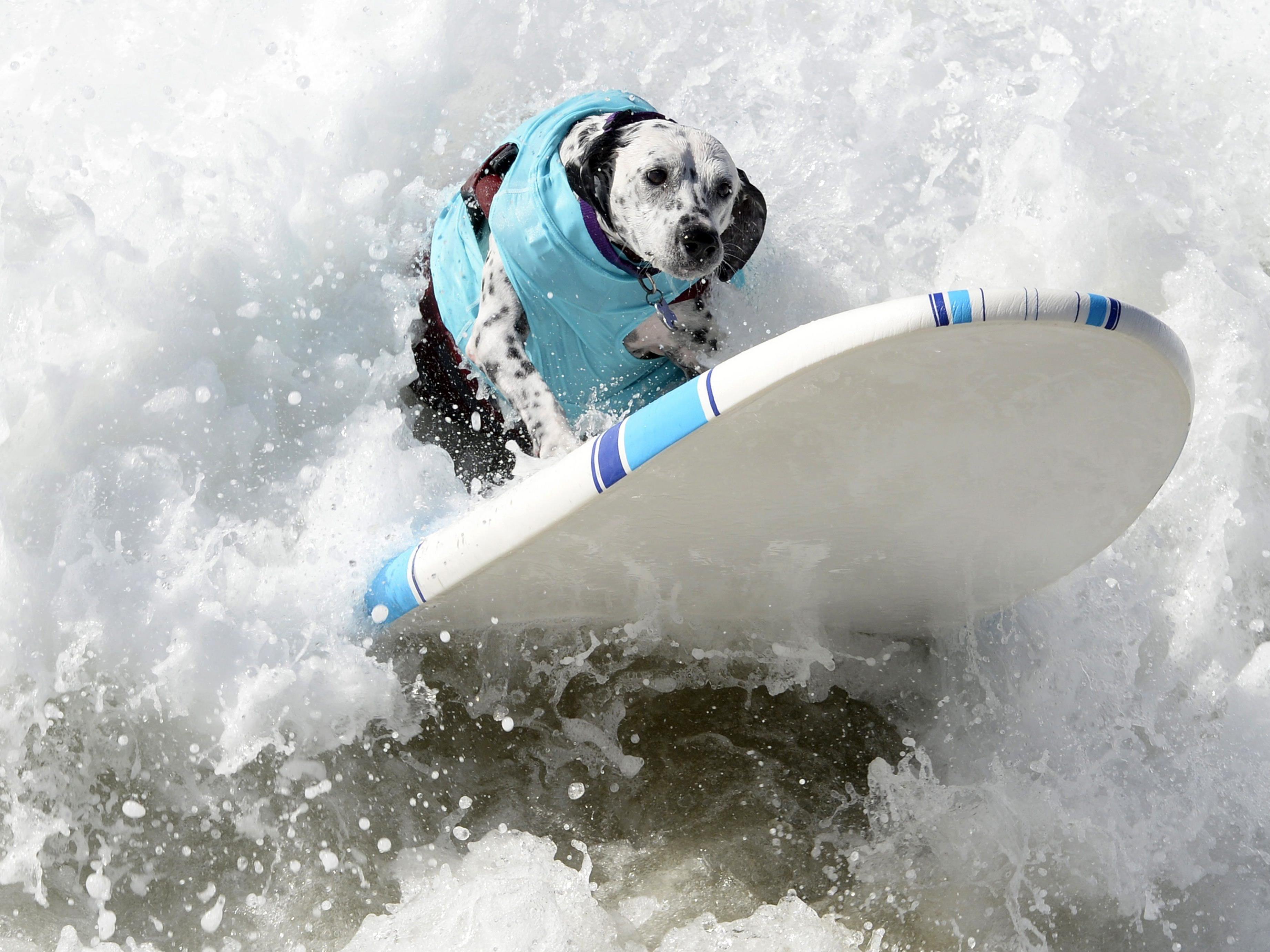 Kalifornische Hunde machen auch am Surfbrett gute Figur.