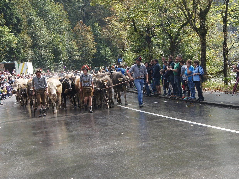 Älpler und Vieh zogen am Samstag von den Dornbirner Alpen zurück ins Tal.