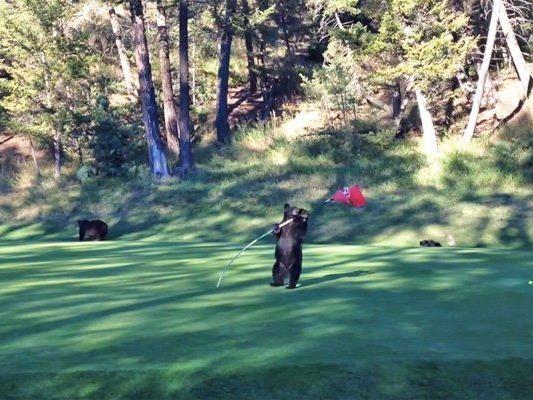 Der Bär sorgte für eine Unterbrechung des Golfspiels.