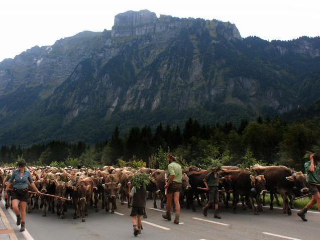 """Der größte Alpabtrieb, den die Region je erlebt hat, """"überrollte"""" förmlich den Bregenzerwald"""
