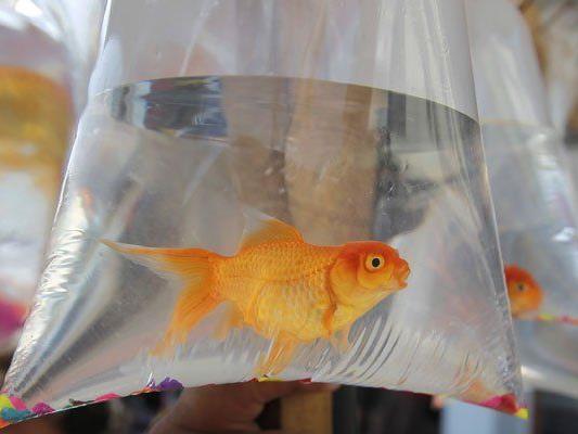 Goldfisch George ist bereits wieder in seinem wohlbehüteten Zuhause