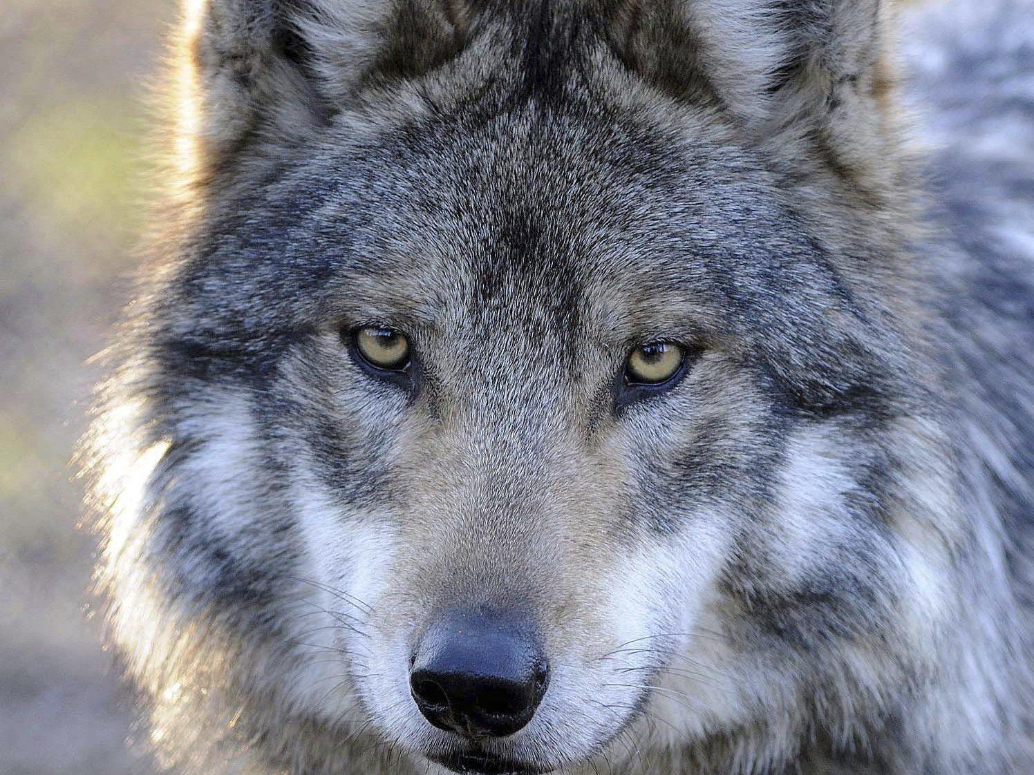 Der Wolf wird in Vorarlberg zum Dauergast. Wie soll man ihm begegnen?