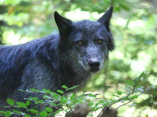 Der Wolf soll zwei Ziegen und ein Mutterschaf gerissen haben