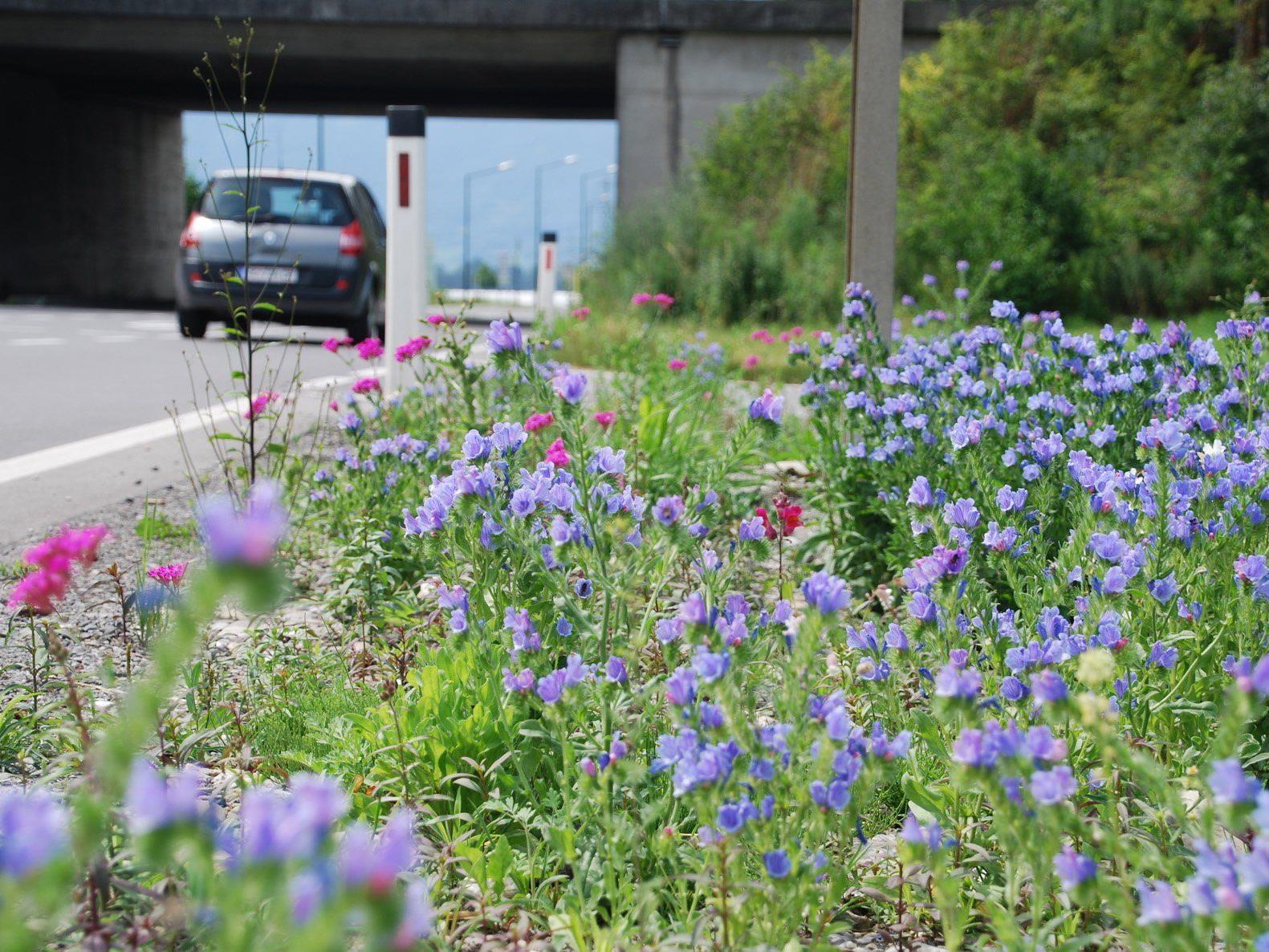 Brachliegende Flächen werden zu Blumenwiesen: Ein naturnah bepflanzter Grünstreifen an der Autobahnabfahrt Rankweil.