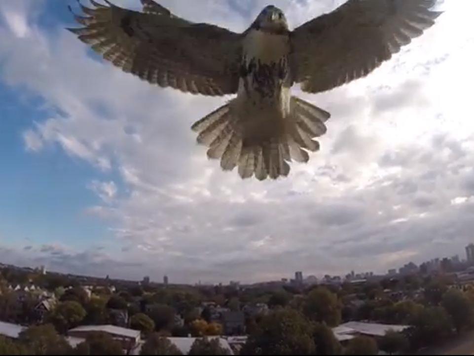 Die Falke hat die Drohne im Visier.