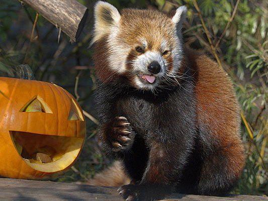 Die Roten Pandas im Tiergarten Schönbrunn erhalten zu Halloween Kürbisse