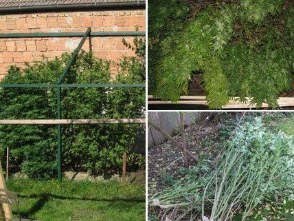 In dem Wohnhaus im Bezirk Mistelbach wurden mehrere Cannabispflanzen sichergestellt.