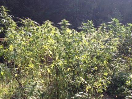 Ein Wiener hat in Niederösterreich Cannabis angebaut.