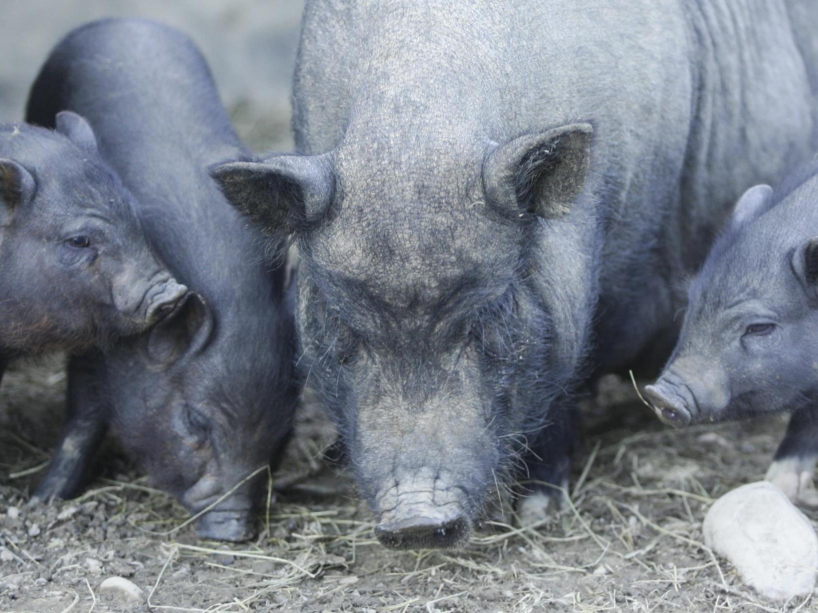 Dornbirn: Ferkel starb in verwahrlostem Stall neben totem Muttertier