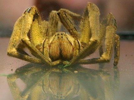 Privatpersonen in Wien dürfen keine giftigen Spinnen mehr kaufen.