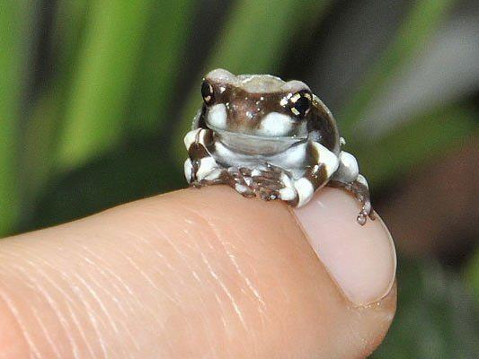 Eines der Baumhöhlenkrötenlaubfrosch-Babys