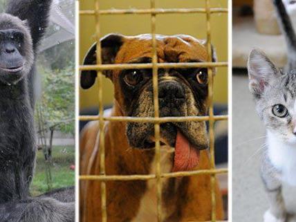 Schimpansen, Hunde, Katzen - diese Tiere und viele andere mehr wohnen im Wiener Tierschutzhaus