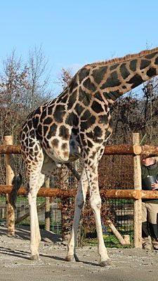 Die Giraffen wagen vorsichtig erste Schritte ins Freigehege