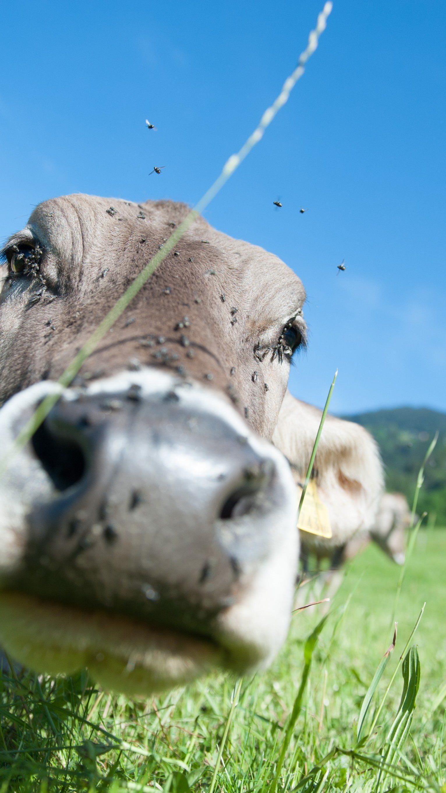 Rinder-TBC: Erste Verdachtsfälle im Rahmen flächendeckender Tests in Vorarlberg
