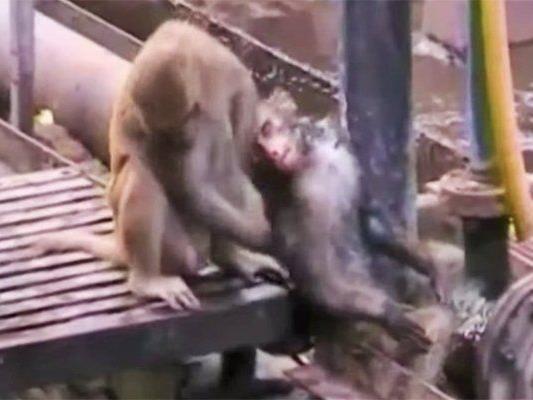 Der Affe unternimmt alles um seinen Artgenossen wiederzubeleben.