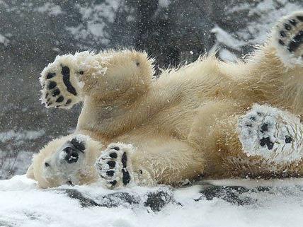 Den Eisbären im Wiener Zoo taugt der Schnee.