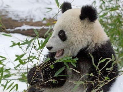 Panda Fu Bao genießt sein Futter im Schnee.