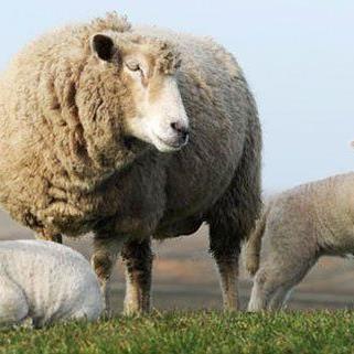 """Steckt vielleicht auch in Ihnen ein """"Schaf""""?"""