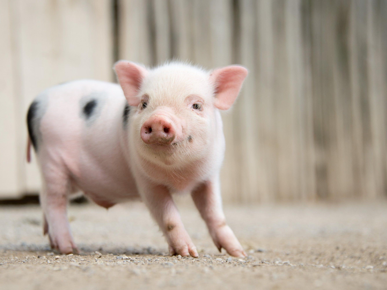 """Aufgrund von """"Politcal Correctness"""" sollen keine Schweine mehr in Kinderbüchern abgebildet werden."""
