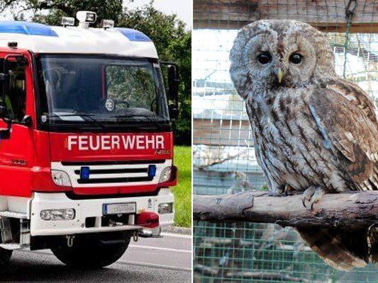 Gerettet von der Feuerwehr: Waldkauz Paula in der Eulen- und Greifvogelstation (EGS) in Haringsee
