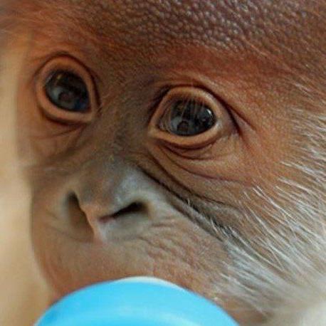 Ein Namen besitzt das Orang-Utan-Weibchen noch nicht.