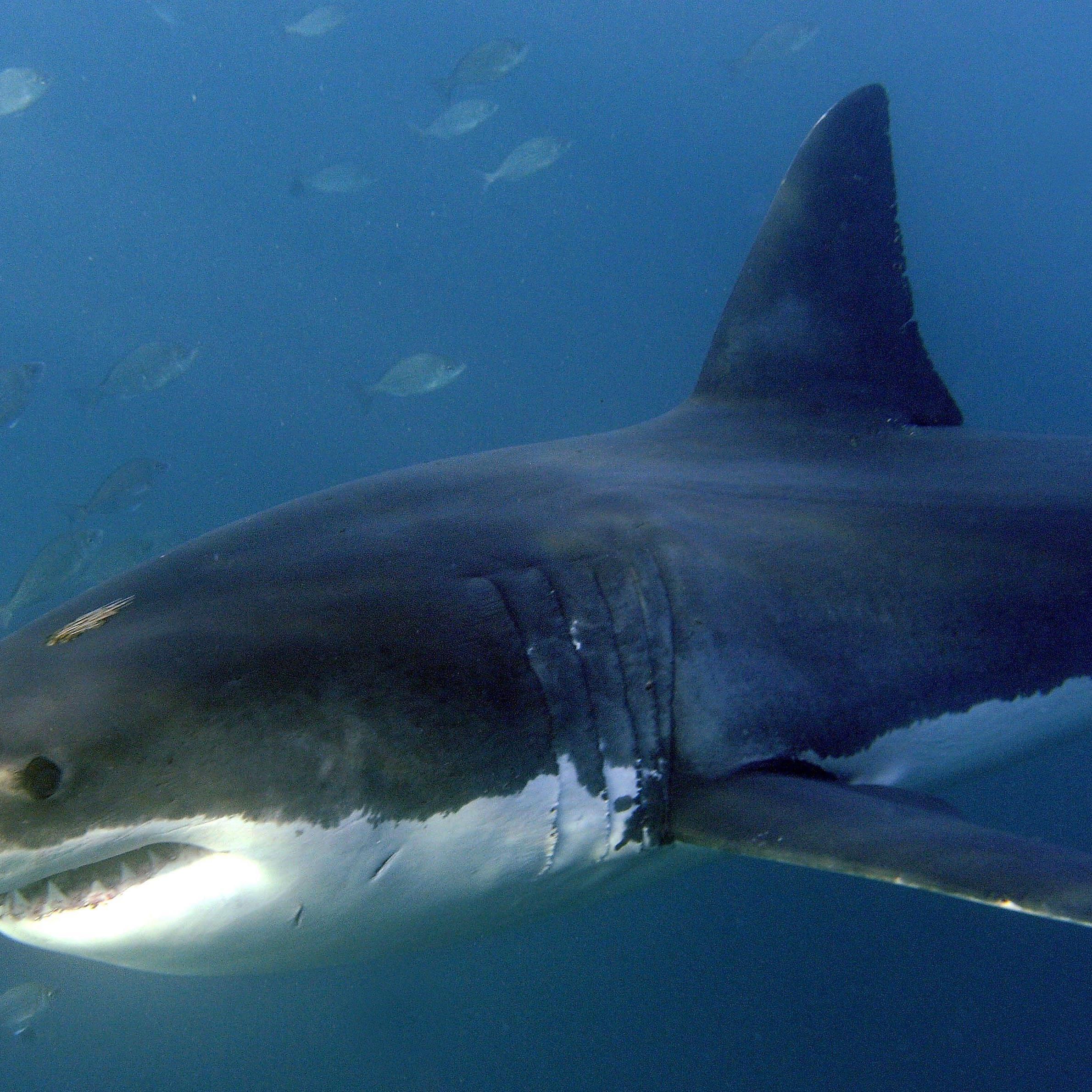 Beim Weißen Hai (Carcharodon carcharias) korrigierten die Wissenschaftler die Maximalgröße von über 8 auf 7,13 Meter.