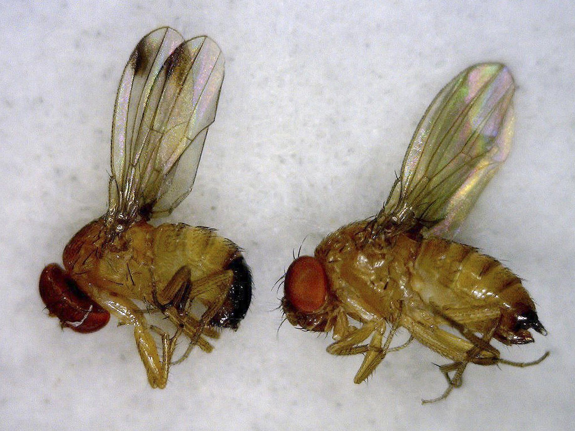Die Fliegen legen ihre Eier in mehr als 100 verschiedene Obstsorten.
