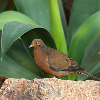 Die Socorro Taube ist im Wüstenhaus zu bewundern