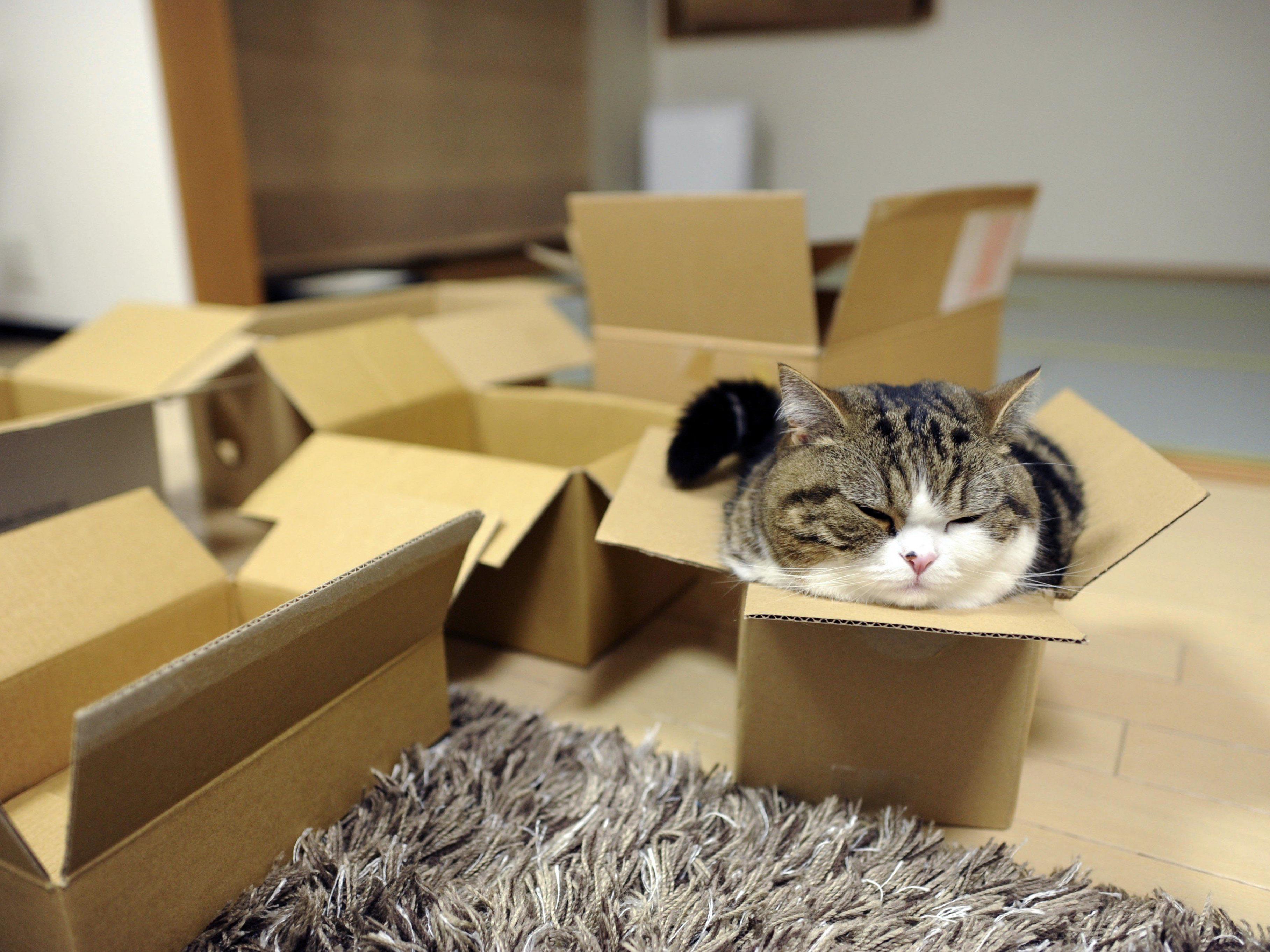 Eine der berühmtesten Katzen, die verrückt nach Boxen ist: Maru.