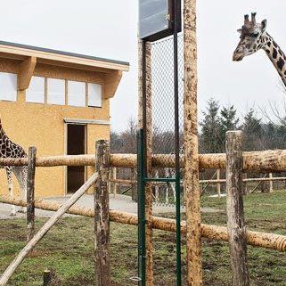 Die Schönbrunner Giraffen in ihrem neuen Quartier.