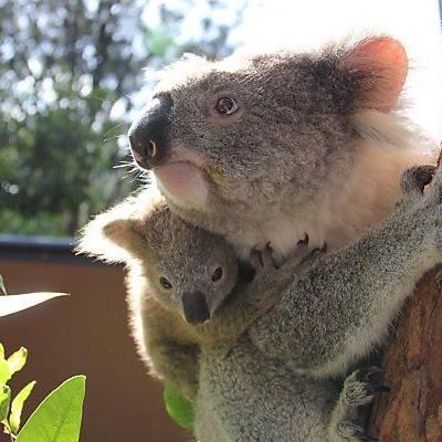 Koala-Bären waren vom Hungertod bedroht