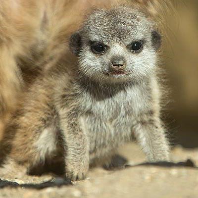 Das Erdmännchen-Baby wird in Schönbrunn aufgezogen
