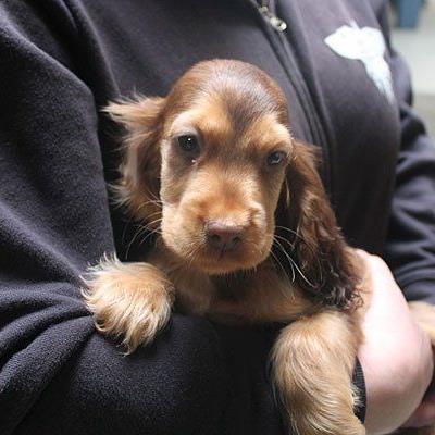 Spaniel-Welpe Kenzo ist in der Obhut des Tierschutzhauses wohlauf