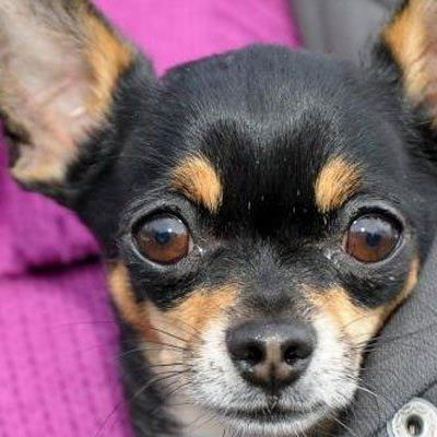 Erneut wurden in Wien Hunde illegal zum Verkauf angeboten.