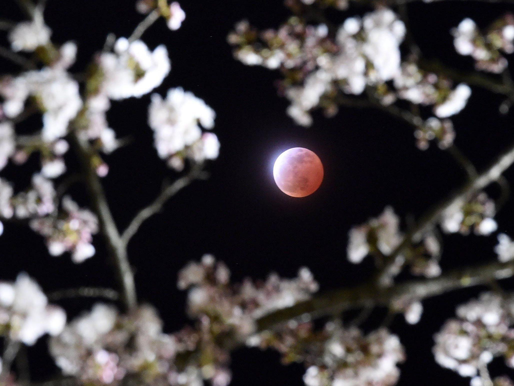 Roter Mond umsäumt von Kirschblüten: So sah die Mini-Mondfinsternis in Japan aus.