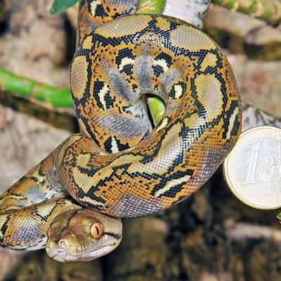 Eines der Python-Babys im Haus des Meeres